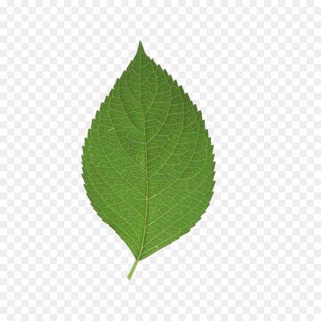 Leaf Green - leaf