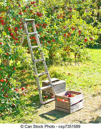 Apple picking. A ladder and crate of apples next to an apple tree.