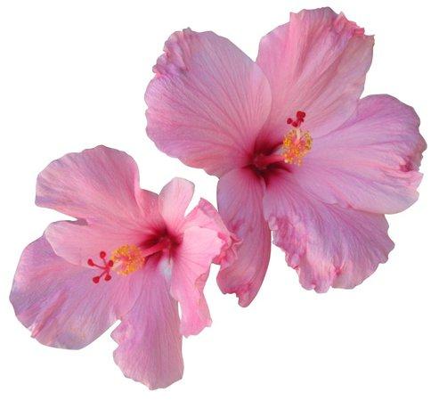 pink flower png filler