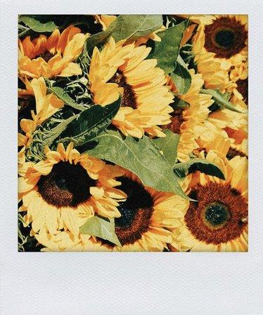sunflower polaroid
