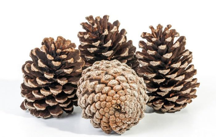 How To Clean, Bake And Store Pine Cones For Survival - Food Storage Moms