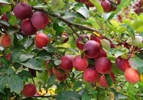 Apple Orchard Galesburg IL   Apple Picking Peoria IL