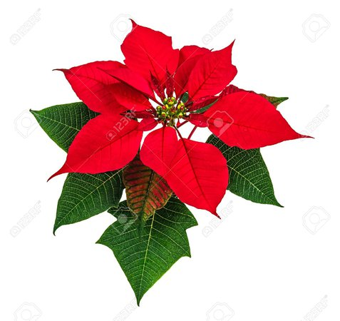 Christmas Red Poinsettia Flower Isolated On White Background Stock Photo, Picture And Royalty Free Image. Image 24690942.