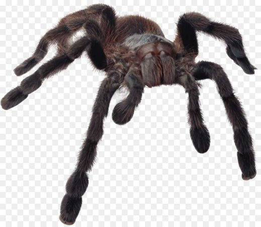 kisspng-spiders-collins-gem-gem-spiders-tarantula-scary-5ad1e7a39c38a7.4693909315237057636399.jpg (900×780)