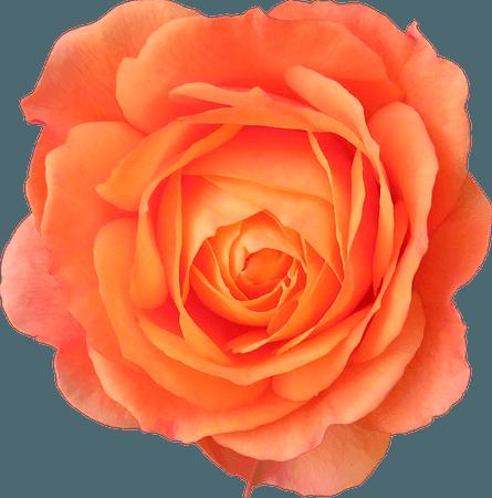 Orange Rose Clipart