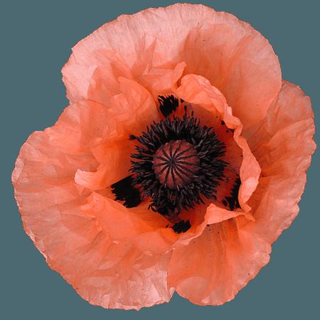 orange flower png filler