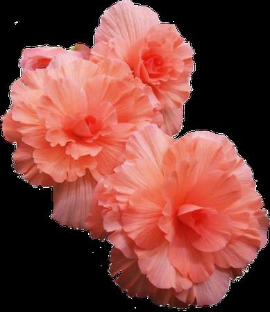 Coral pink filler flower