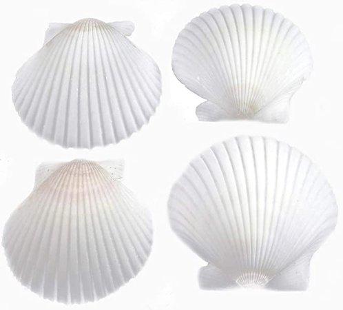 "Amazon.com: FSG - 25 White Florida Scallop Shells (about 2"") Seashells for Beach Wedding Decor and Ocean Crafts: Home & Kitchen"