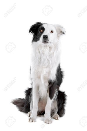 black white dog border collie