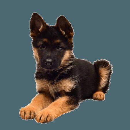 german shepherd puppy png - Pesquisa Google