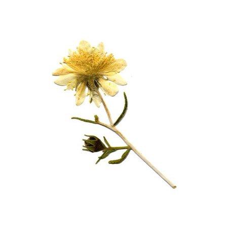 Pressed Wildflowers -- Nature's Pressed Quality Pressed Wildflowers ($22)