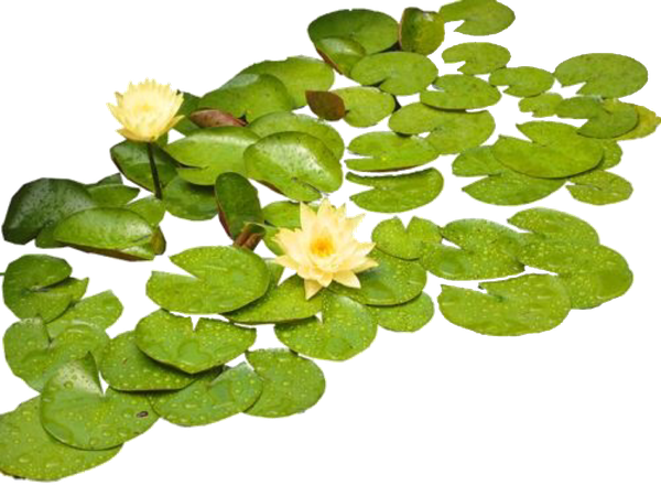 Lilypads Garden aesthetic pngs