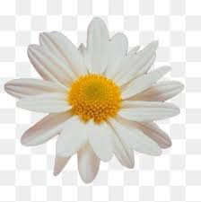 flower on white background - Google Search