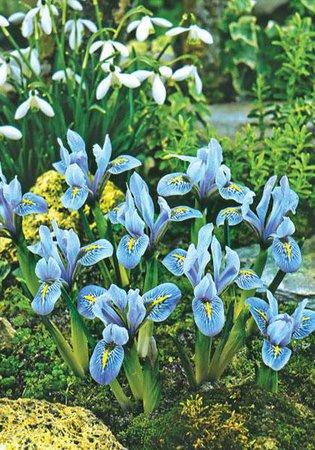 sheila anne germany iris