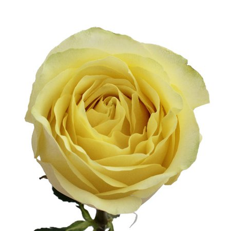 Caipirina Soft Lemon Rose
