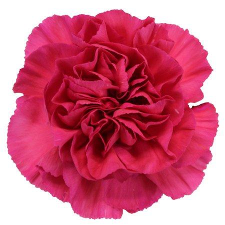 Dark Pink Carnation Flowers   FiftyFlowers.com