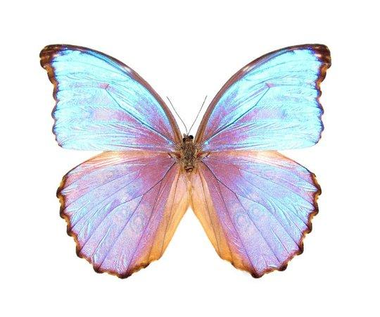 ONE Real Butterfly blue purple Morpho godarti asarpai Peru | Etsy