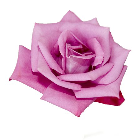 A Kid's Photo | Pink Rose with White Background