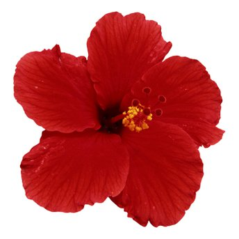 Hibiscus Flower (Red)