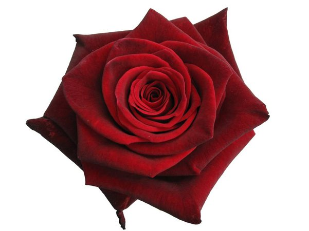 Red Rose (Iconing clip Art)