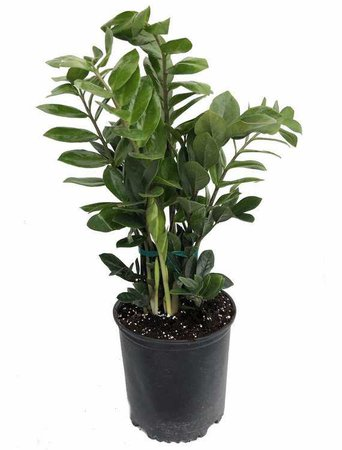 Rare ZZ Plant Zamioculcas zamiifolia Hardy House Plant