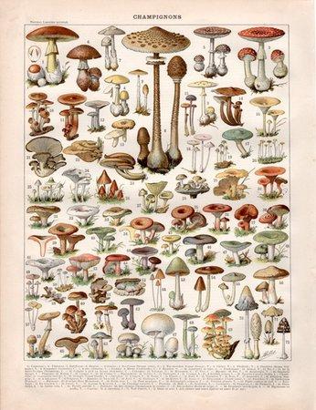 Wish | Not Framed Mushroom Canvas Print Vintage Larousse Mushroom Book Plate Fungi Art Fungus Poster Botanical Science