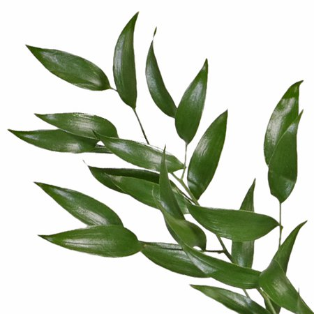 Bulk and Wholesale Italian Ruscus Greenery | FiftyFlowers