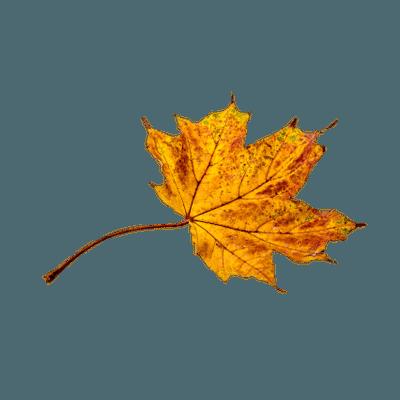 Autumn Broad Leaf transparent PNG - StickPNG