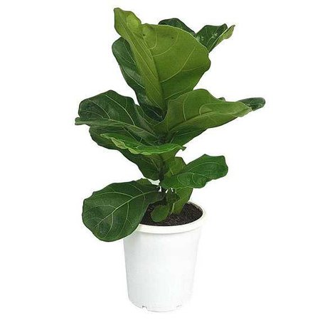 Fiddle Leaf Fig Tree 'Bambino' 25 30 in Ficus