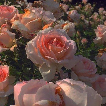 rose flower garden aesthetic pink