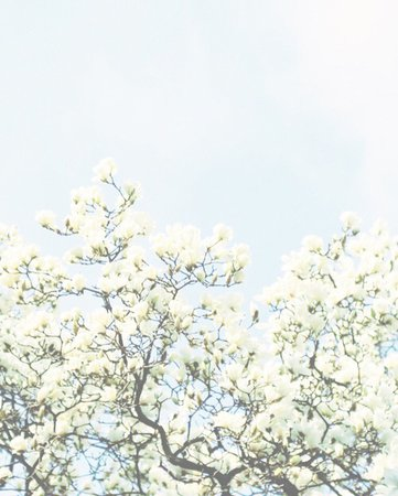 tree blossoms background