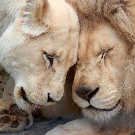 beige aesthetic | Tumblr | Cute Animals | Beige aesthetic, Animals, Lion