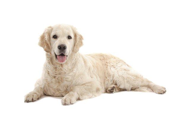 Golden Retriever Dog Breed Information   Temperament & Health
