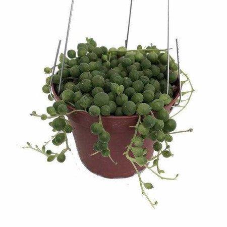 LIVE String of Pearls aka Senecio Rowleyanus Live Plant Fit