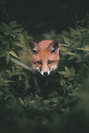 Desvre | FOX | Wild animals photography, Animals beautiful, Animal photography