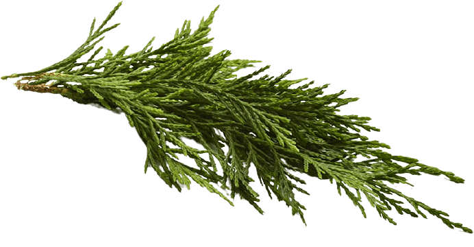 cypress tree leaves no background
