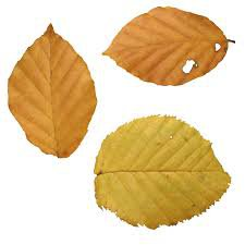fall leaf png - Google Search