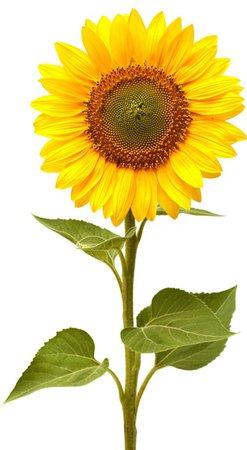 Small Sunflowers - Albuquerque Florist
