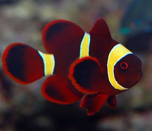 yellow stripe maroon clown fish