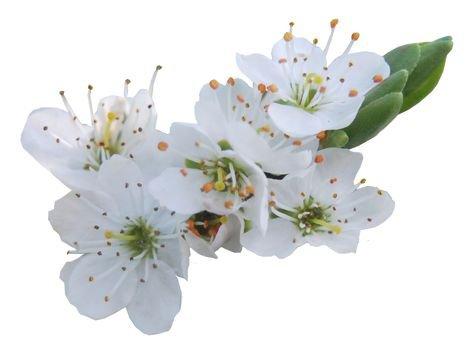 spring daisies flowers