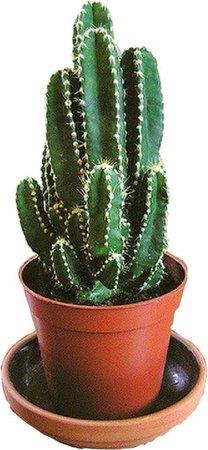 fairy castle cactus