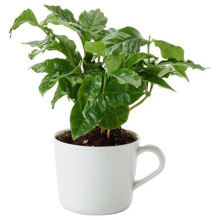 COFFEA ARABICA Potted plant in mug - coffee plant - IKEA