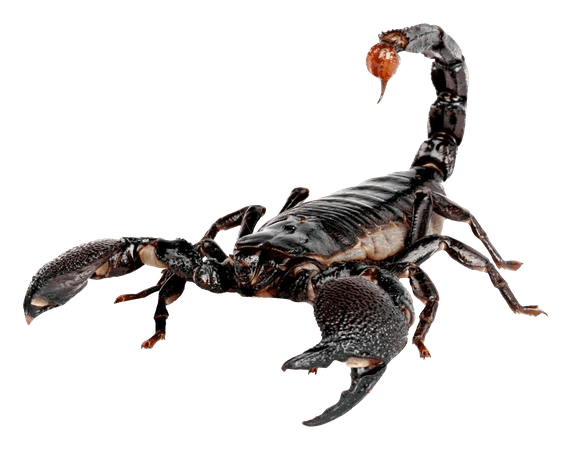 Scorpion PNG Image for Free Download