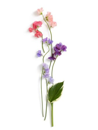 Sweet Pea Flower Stems