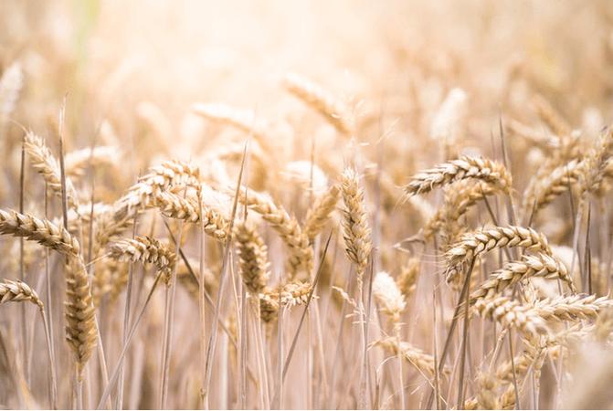 Wheat Field - Evi Radauscher