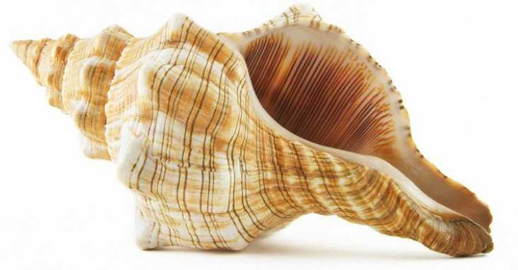 conch shell 🐚
