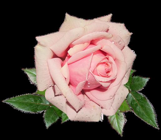 Garden-Rose-Pink-2895636.png (826×720)