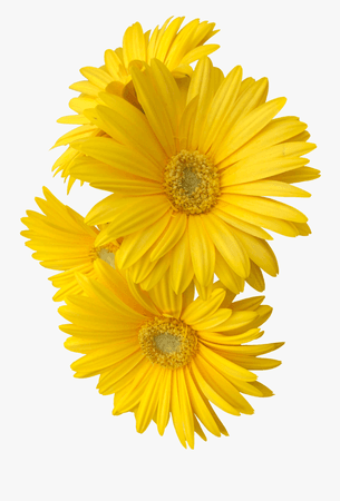 250-2509245_yellow-daisy-flower-flowers-freetoedit-yellow-flower-png.png (900×1328)