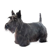 Scottish Terrier - Purina®