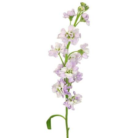 Stock Lavender Blush Flower
